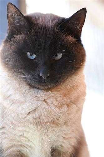 All Adoptable Animals Siamese Cats Popular Cat Breeds Balinese Cat