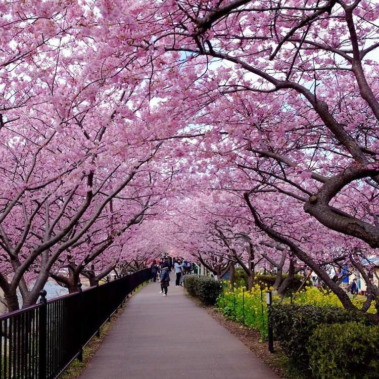 Japan S Iconic Cherry Blossoms Are Already In Full Bloom In Kawazu Cherry Blossom Japan Nature Japan Spring