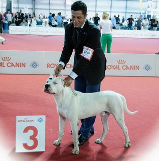 Pampa Verdes Pampas At The World Dog Show 2015 He Placed 3rd In The Open Class Guria S Father Dog Show Tribe Of Judah Dogo Argentino