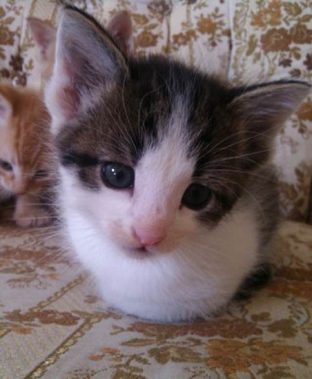 kitten cat loaf sitting