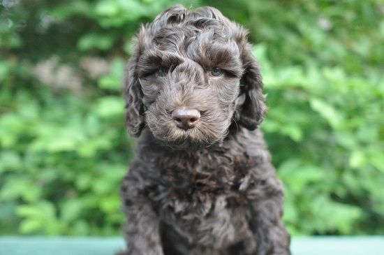 Chocolate Standard Australian Labradoodle Puppies For Sale May