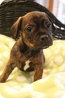 Bedminster Nj Boston Terrier Dachshund Mix Meet Buster A