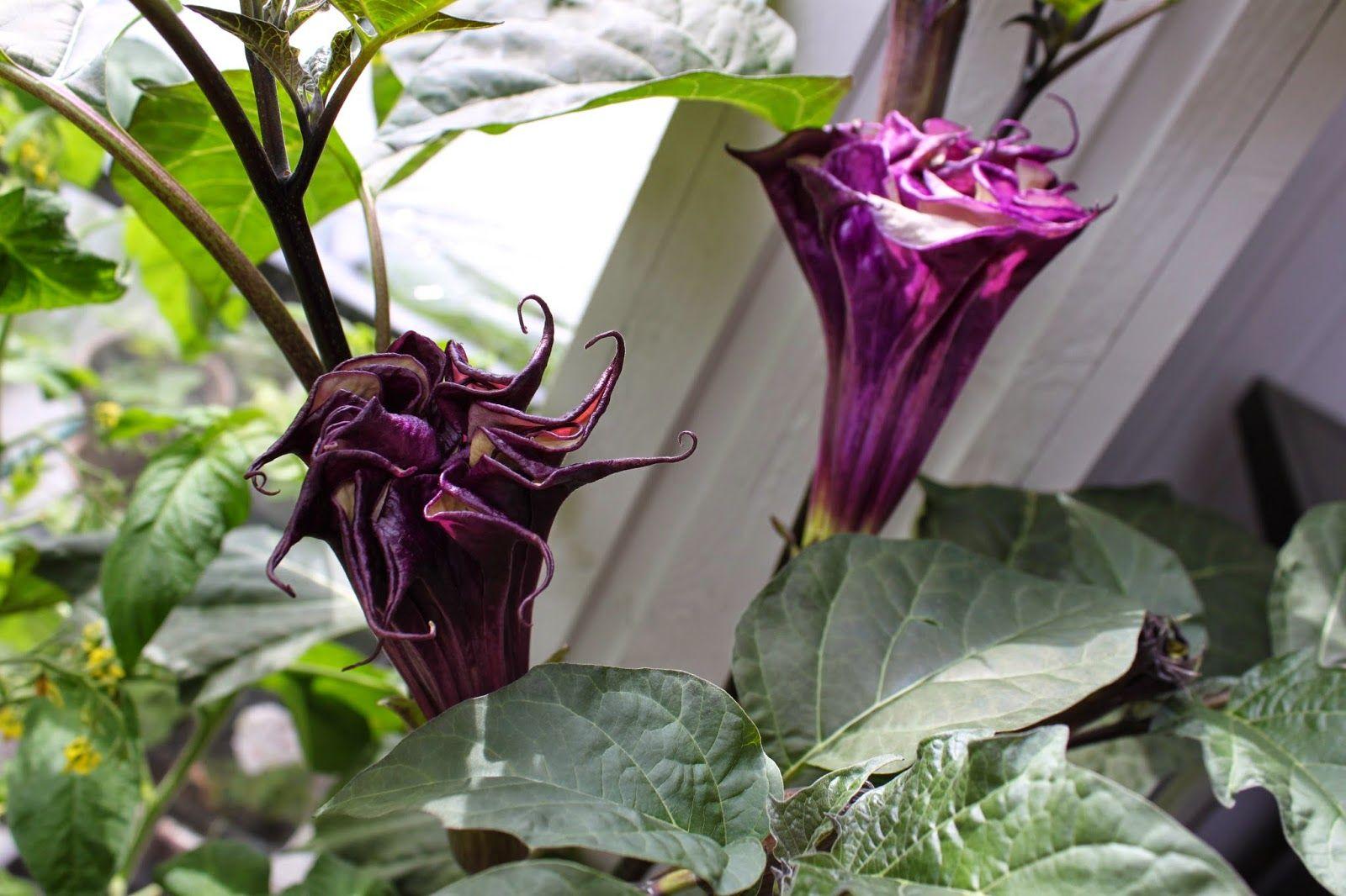 Karolinan puutarha. Karolinas trädgård. Karolina's garden. Datura.