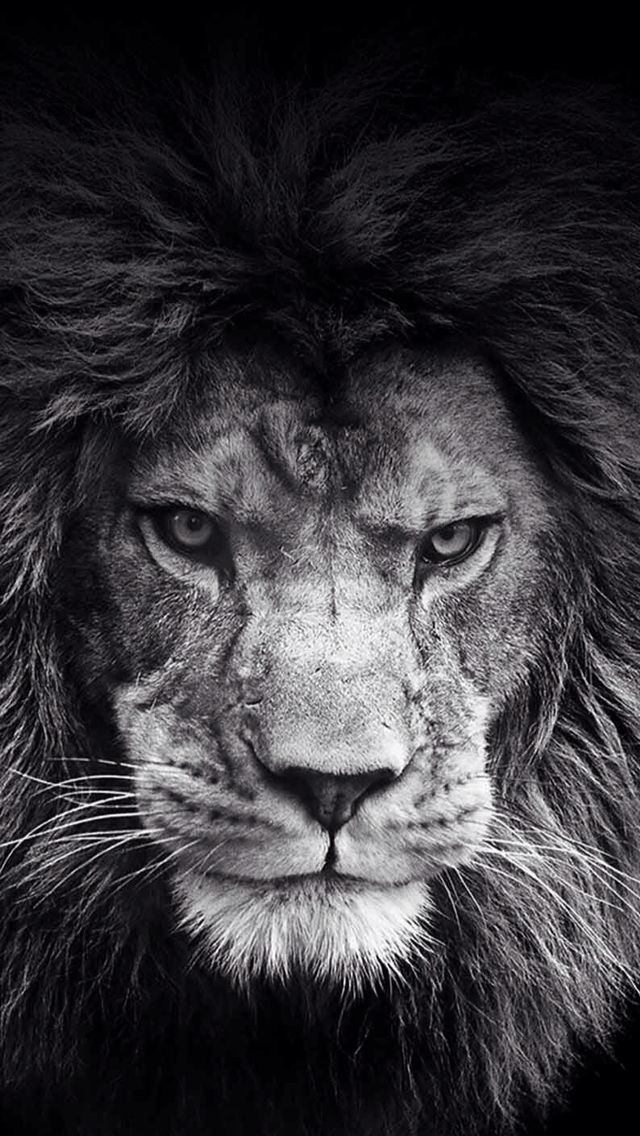 Lion Black And White Wallpaper Cool Wallpapers Animals Cats Lion