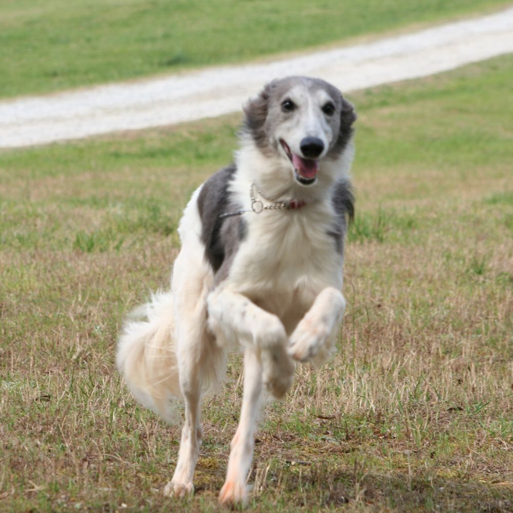 longhaired whippets | Longhaired Whippet Running Happily