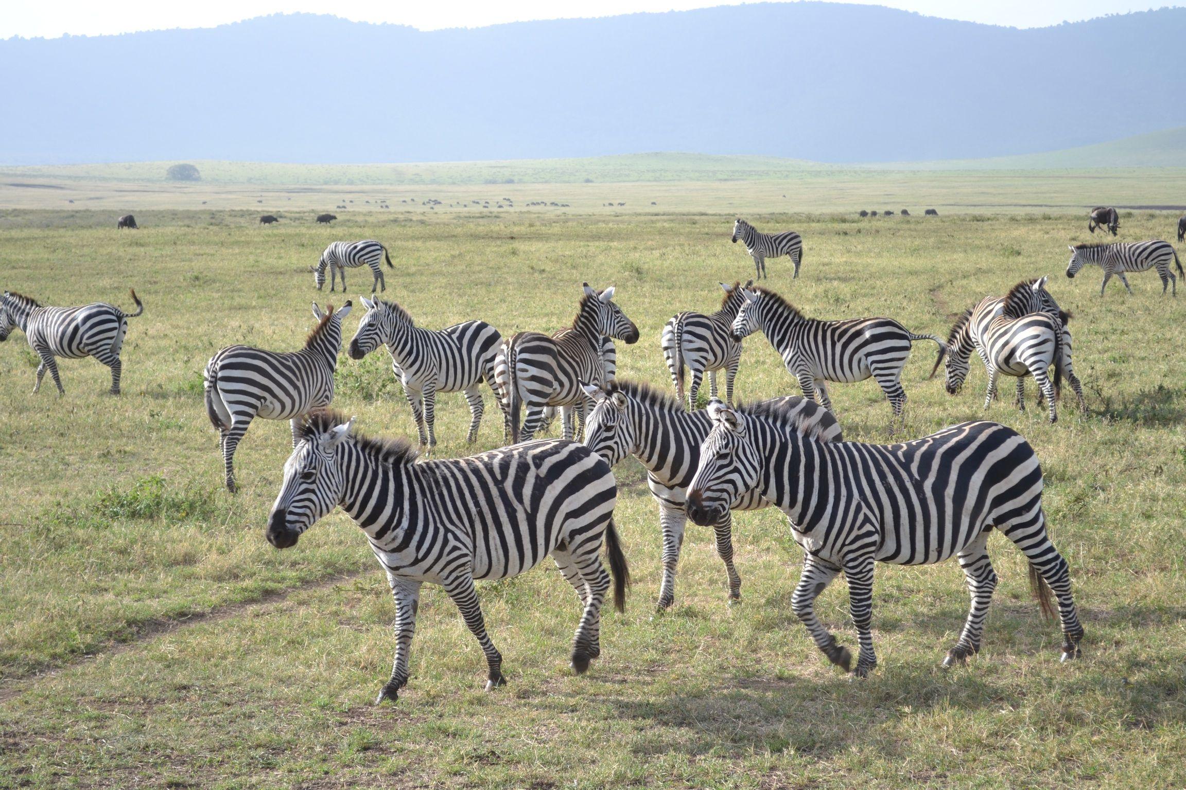 Zebras in Tansanya