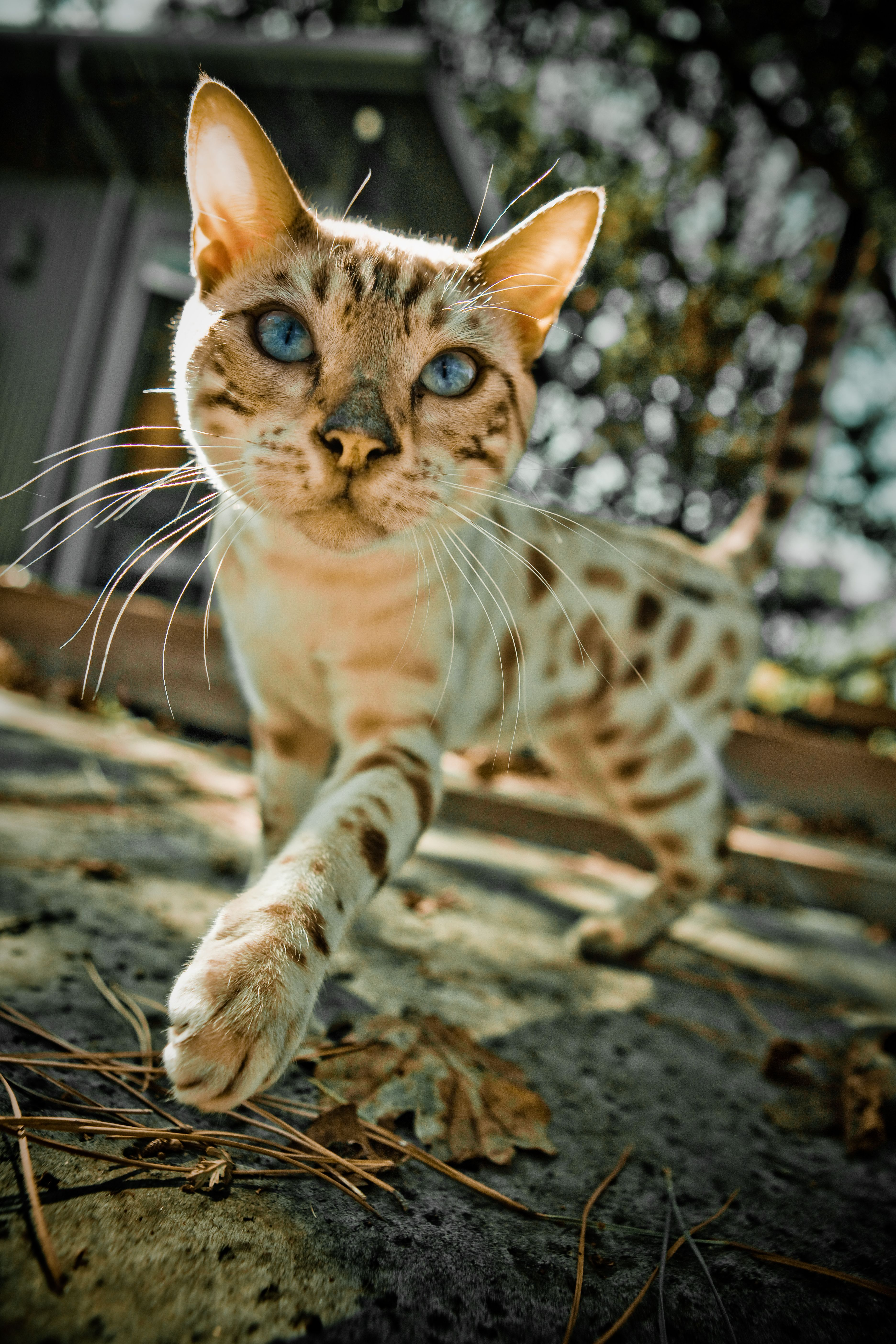 beautiful spotted cat Spotted cat, Bengal cat, Cats