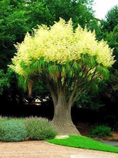 Pin By Grace Soberon On Pools And Patios Ponytail Palm Tree Beautiful Tree Plants