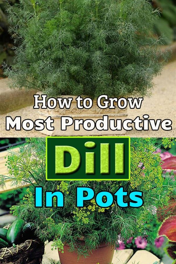 How To Grow Most Productive Dill In Pots Plant Care How 400 x 300