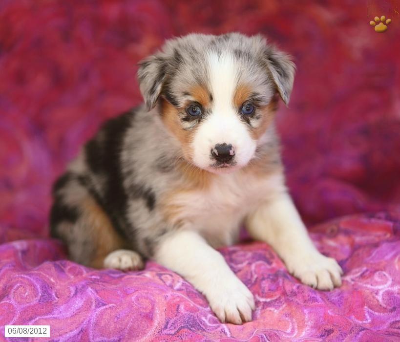 Australian Shepherd Puppy Australian Shepherd Australian Shepherd Puppy Puppies