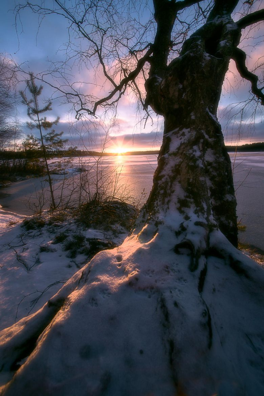Photograph Birch with setting sun by Tuomo Arovainio on 500px
