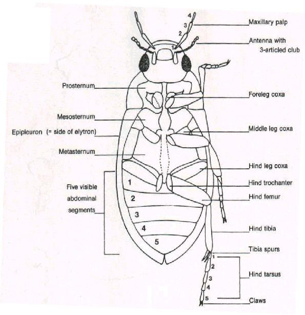 coleoptera     insects