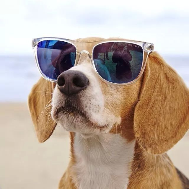 Adoro Dog With Glasses Tommy Hilfiger Classic Sunglasses