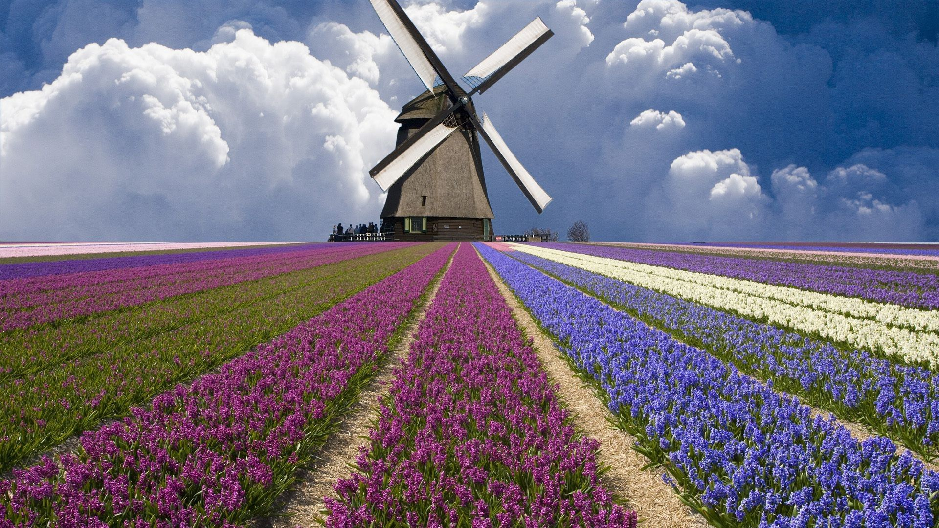 Explore Dutch Tulip Field Of Flowers and