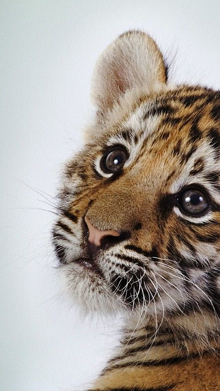 tiger_baby_face_cute_2722_640x1136