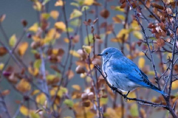Google Image Result For Http Www Denveraudubon Org Wp Content Uploads 2011 02 Birds 1051 Mountain Bluebird 40 Gr Mt R Blue Bird Birds Wild Birds Unlimited
