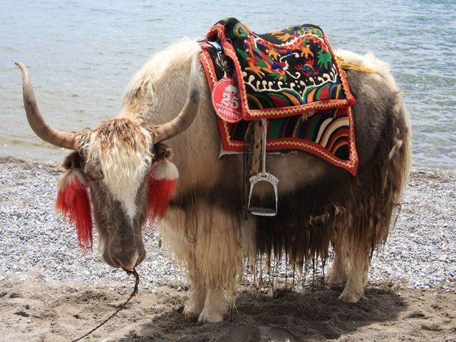 Tibet Yak Google Search Animals Yak Rare Animals