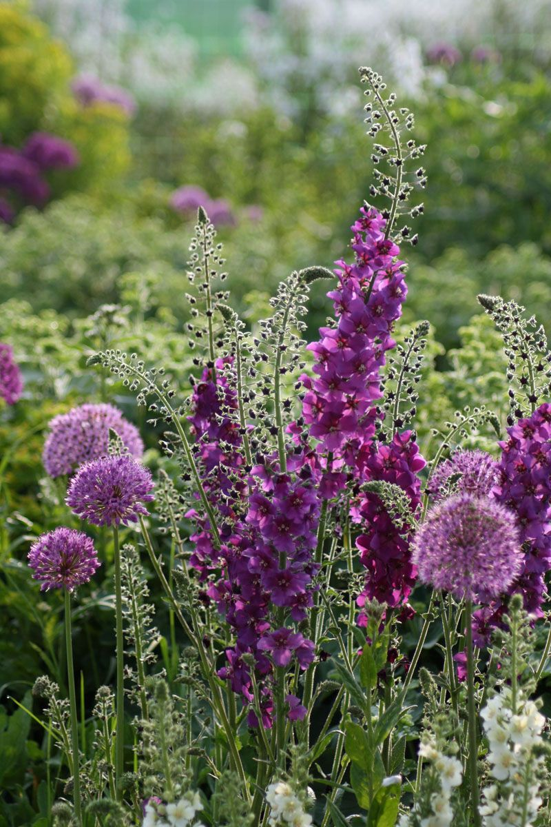 """Purple is a mainstay to the garden & I cannot think of a plant colour it doesn't """"Go"""" with. Purple & orange, purple & pink, purple & blue, & yellow, & red....need I continue ?"""