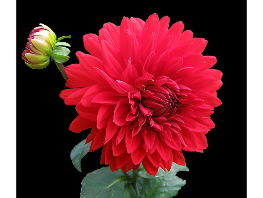 Red Dahlia Flower Transparent Png Image Freepngimage Com Dahlia Dahlia Flower Png Images