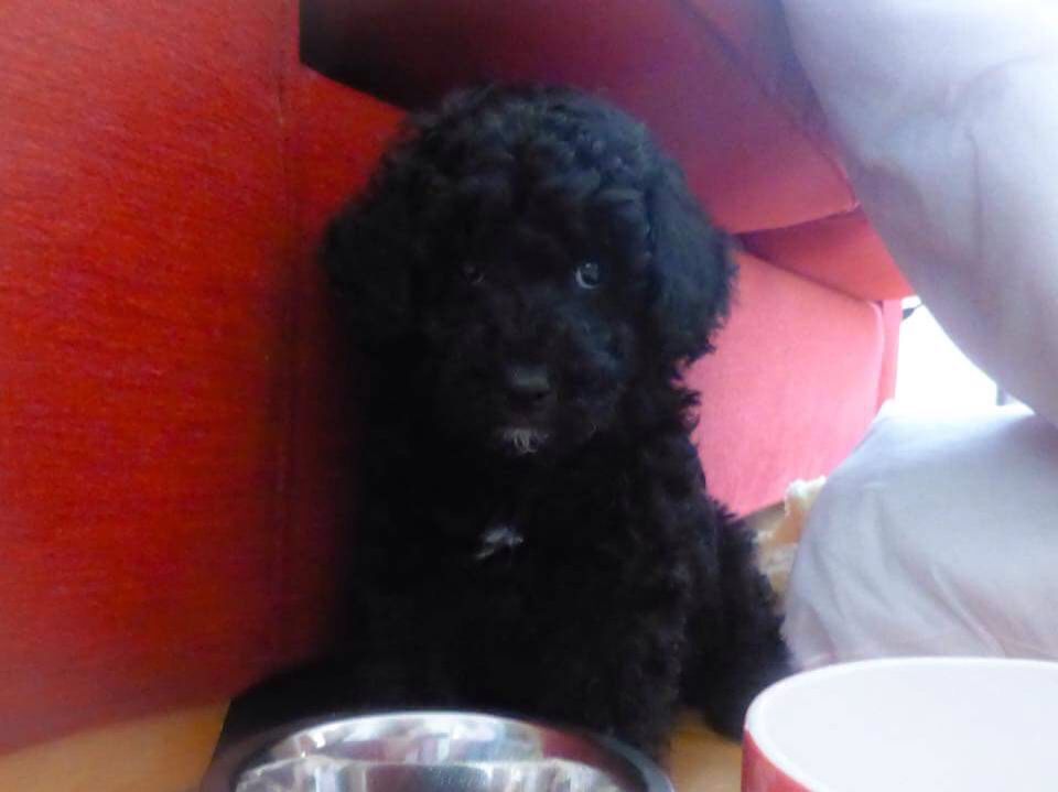 black cavapoo puppy at 8 weeks old Cavapoo puppies