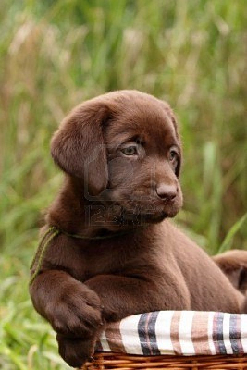 Posing Chocolate Lab Puppies Labrador Retriever Puppies Chocolate Labrador Retriever
