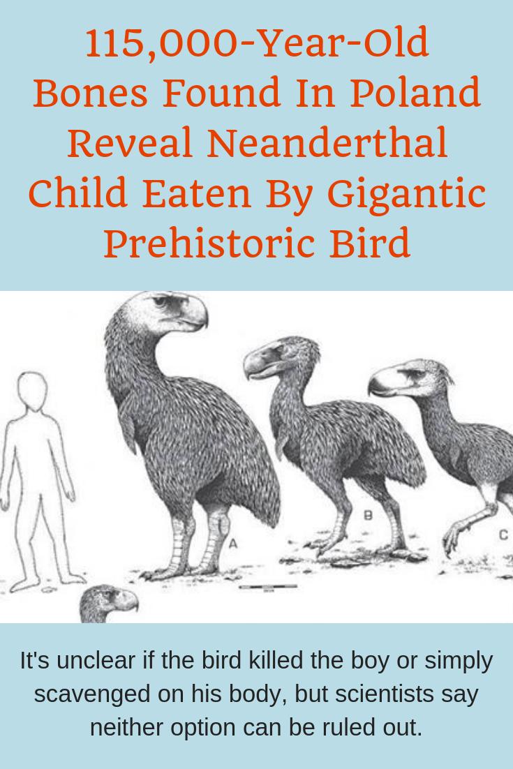 115 000 Year Old Bones Found In Poland Reveal Neanderthal Child Eaten By Gigantic Prehistoric Bird In 2020 Children Eating Prehistoric Neanderthal