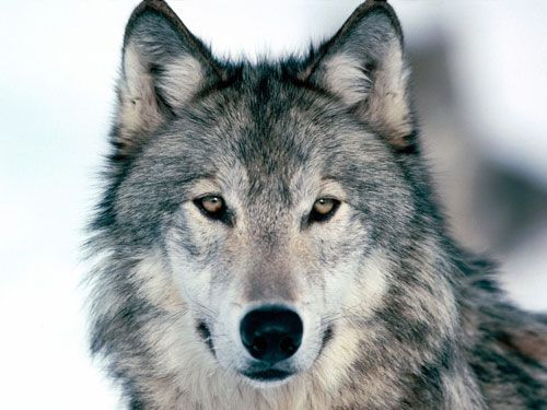 Wolf. Key Messages: Protection, Teaching, Hierarchy. Affirmation: I trust the universe and know that I am safe and protected at all times.