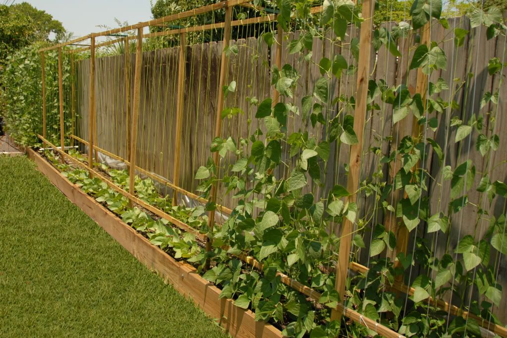 Marvelous Pole Bean Trellis Ideas Part - 11: Netting Poles | Black Jungle Butterbeans - Beans, Peas U0026 Other Legumes  Forum .