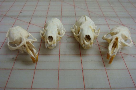 4 Real Skulls 2 Mink 2 Muskrat Bone Parts Real Skull Skull Wet Specimen