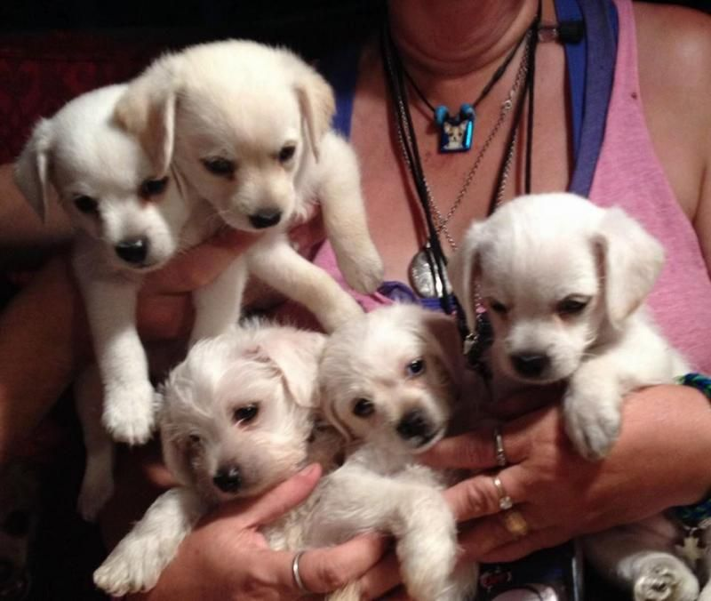 Adopt puppies on petfinder chihuahua mix puppies poodle
