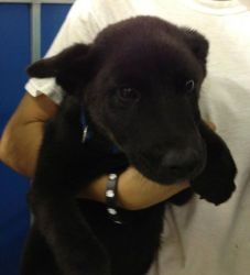 Tonk Is An Adoptable Shepherd Dog In Bryan Tx I Am 3 Month Old