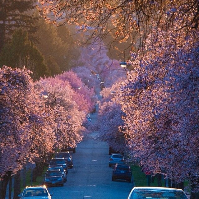 A Lovely Photo Of The Cherry Blossoms That Line Vancouver S Arbutus Ridge Photo By Instagramvancouver Ex Vancouver Photos Vancouver Cherry Blossom Season