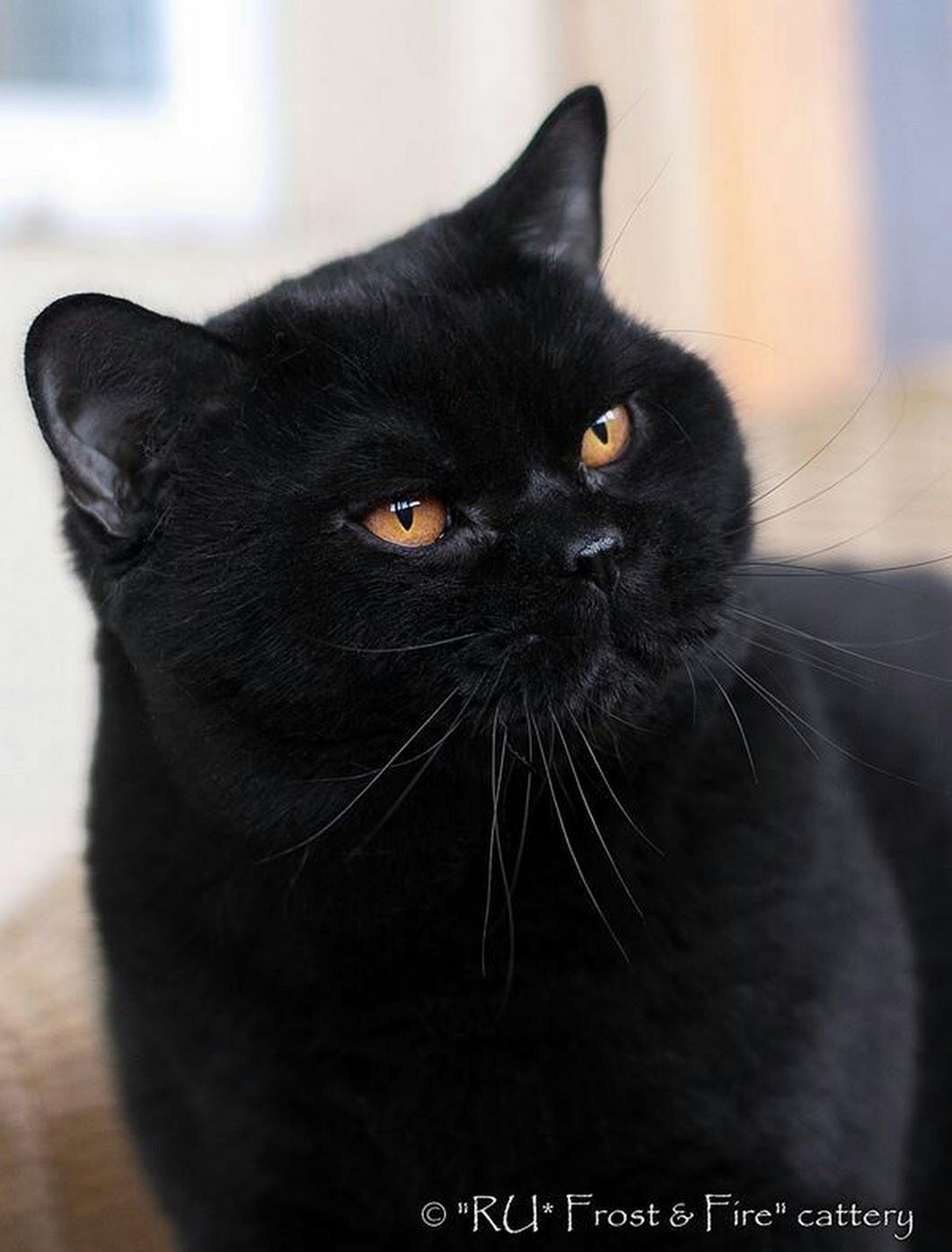 Sign In Cute Black Cats British Shorthair Cats Cats