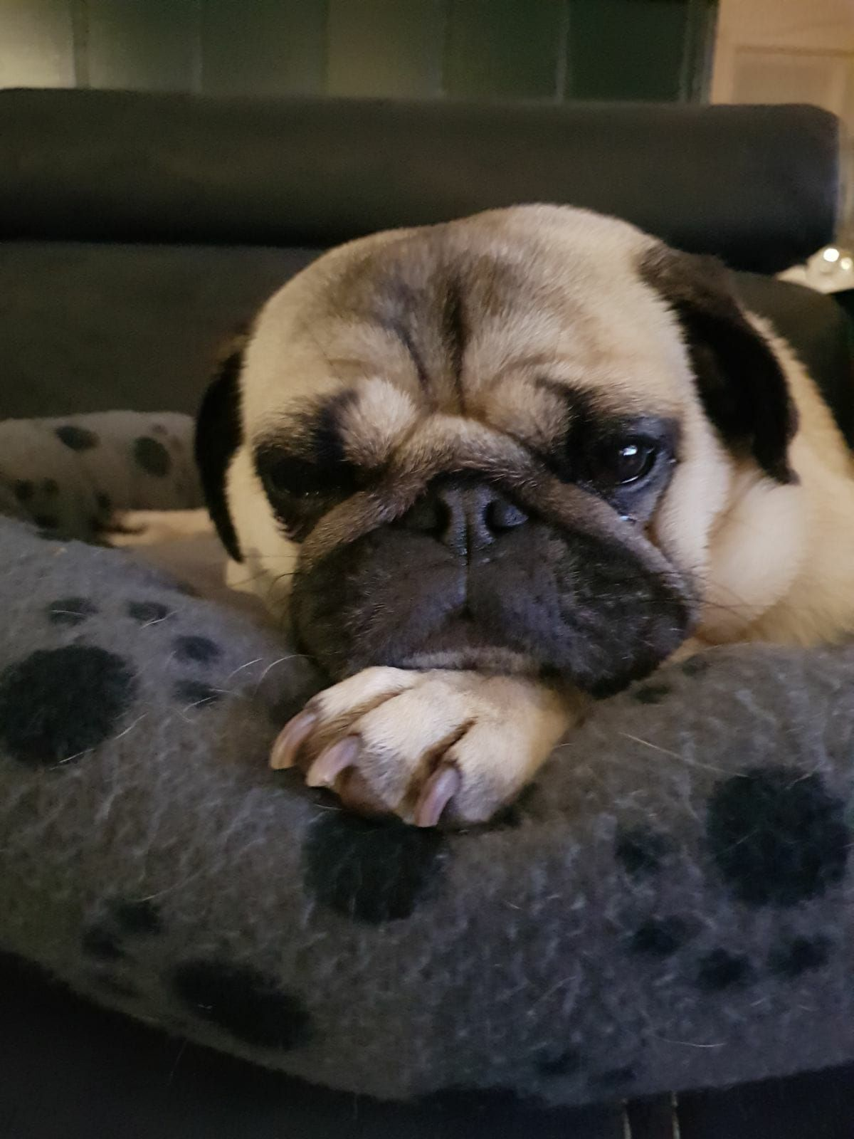 What Is The Personality Of Your Pug Pug Obsessed Cute Animals