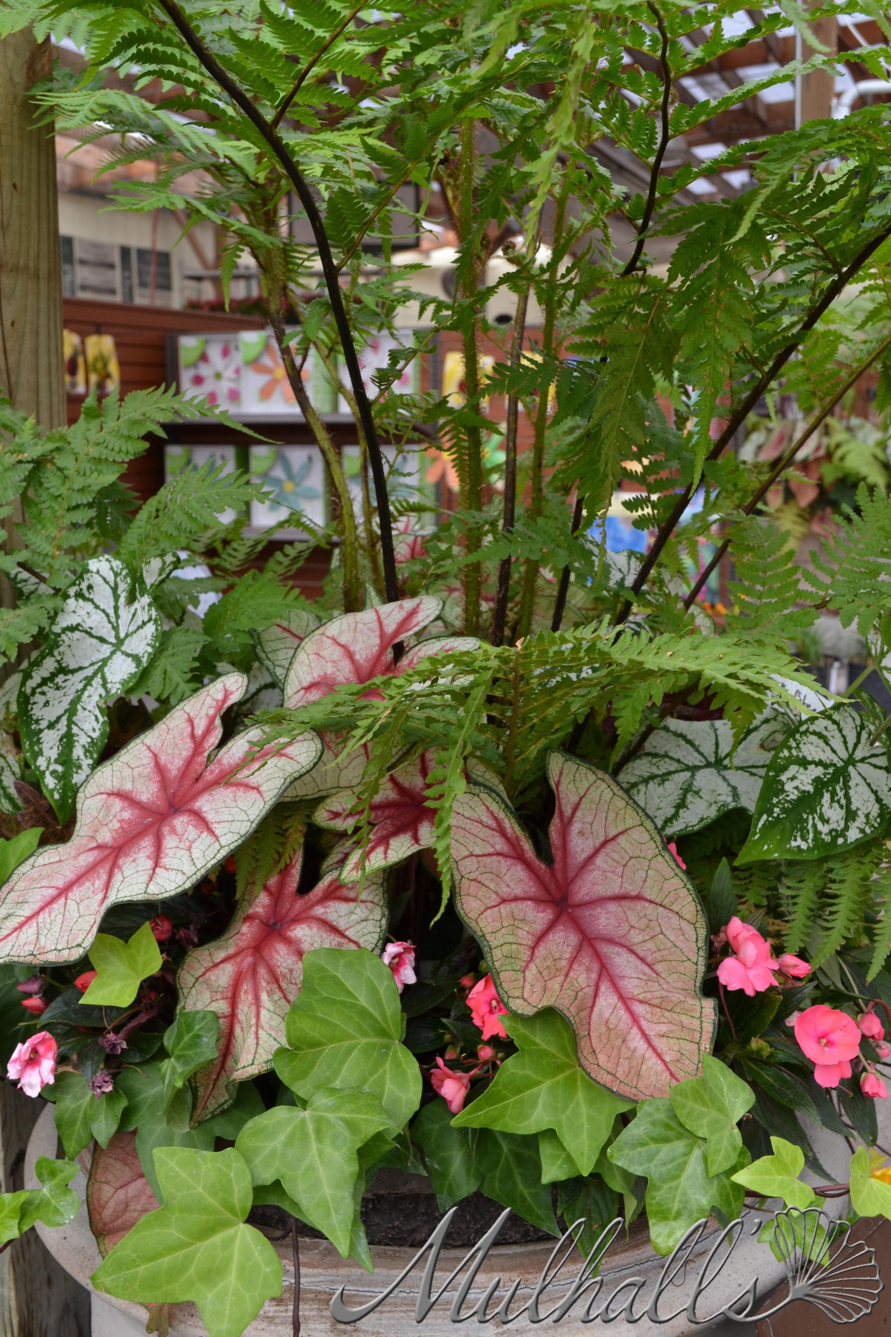 pin on caladiums   a must have