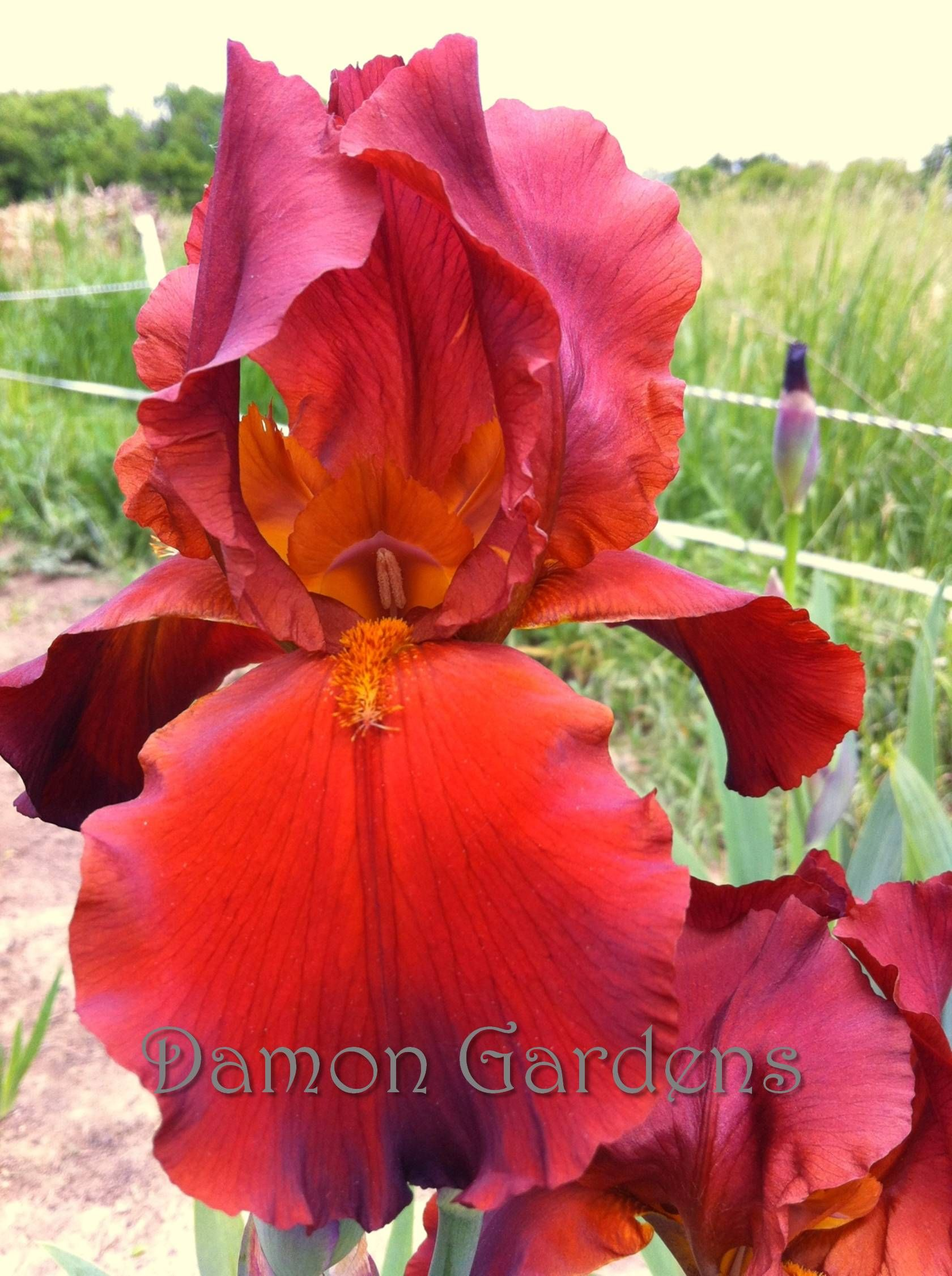 Iris Red At Night | Gardens & Flowers | Pinterest | Iris, Flowers ...