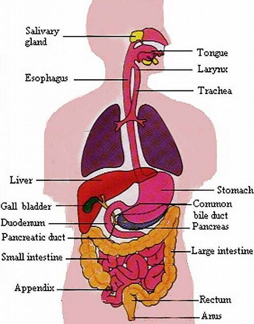 Digestive System Gross Anatomy Anatomy Note World Pinterest