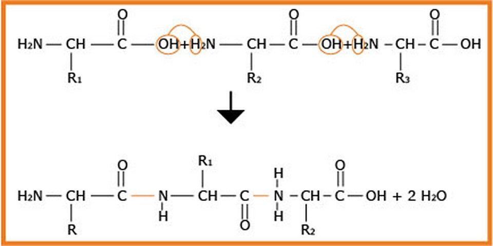 التخصص الوظيفي للبروتينات - العلاقة بين بنية و وظيفة البروتين - realiser un plan de maison