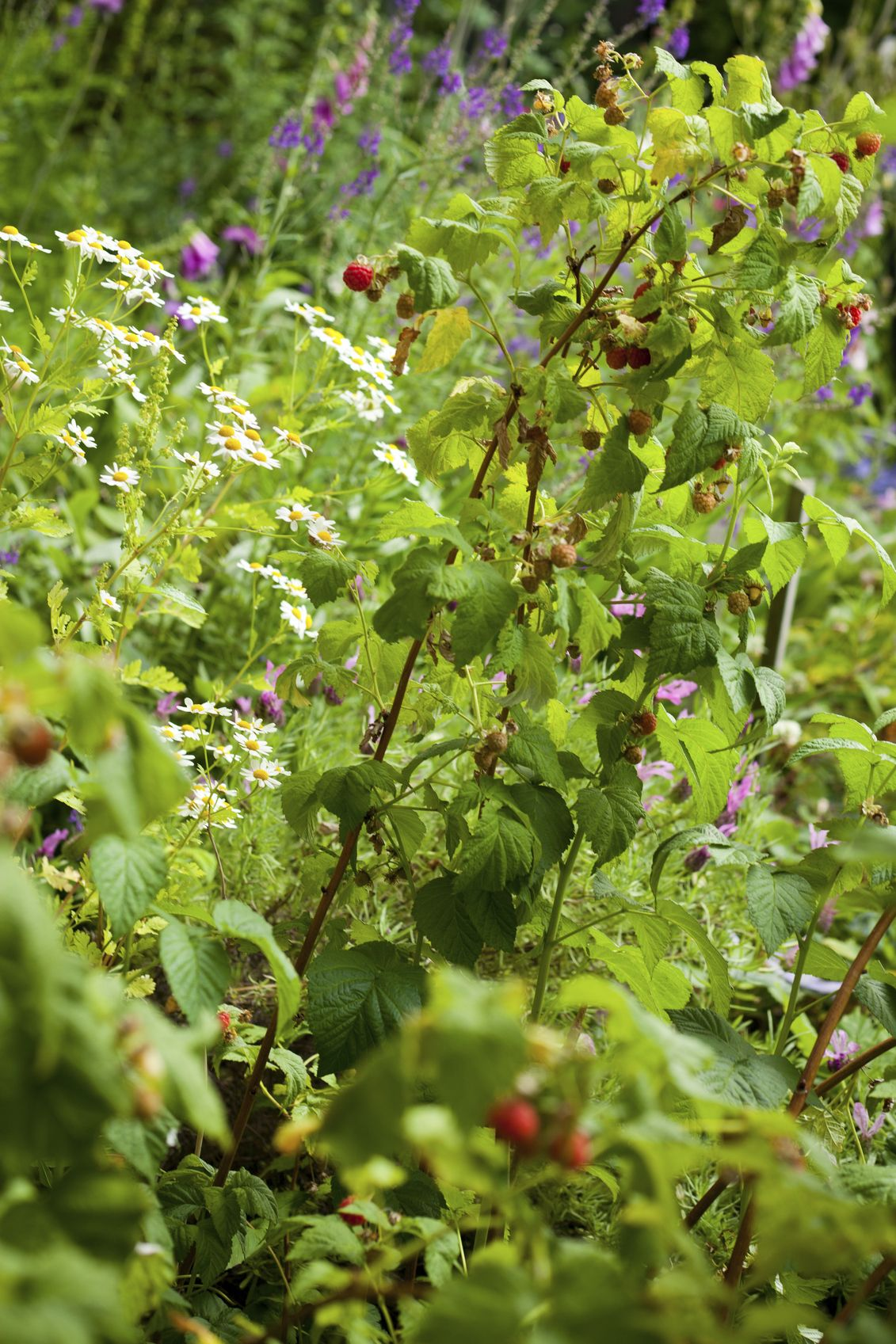 Raspberry Companion Plants What To Plant With Raspberries