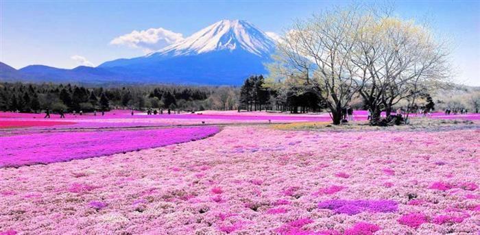 Paisajes coloridos Shibazakura, Jopón