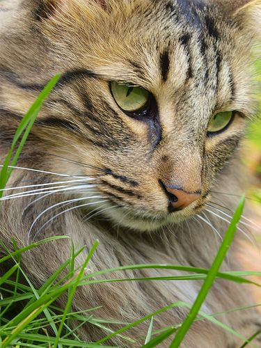 Ozzie Beautiful Cats Norwegian Forest Cat Cats