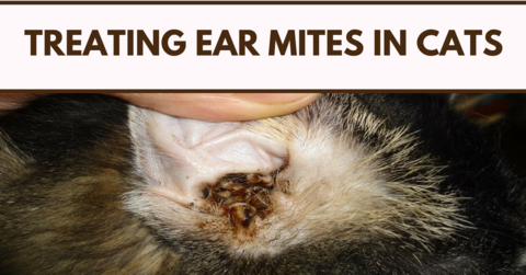 Treating Ear Mites In Cats Dog Blog Dog Cat Cats