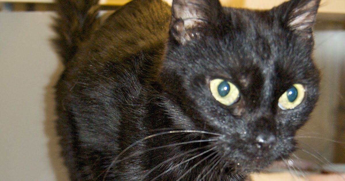 Top 10 Signs of Hyperthyroidism in Cats (With images