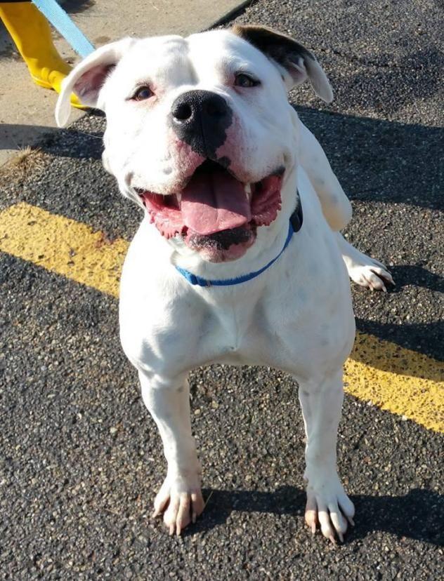 Adopt on Dog pounds, Dogs, American bulldog mix