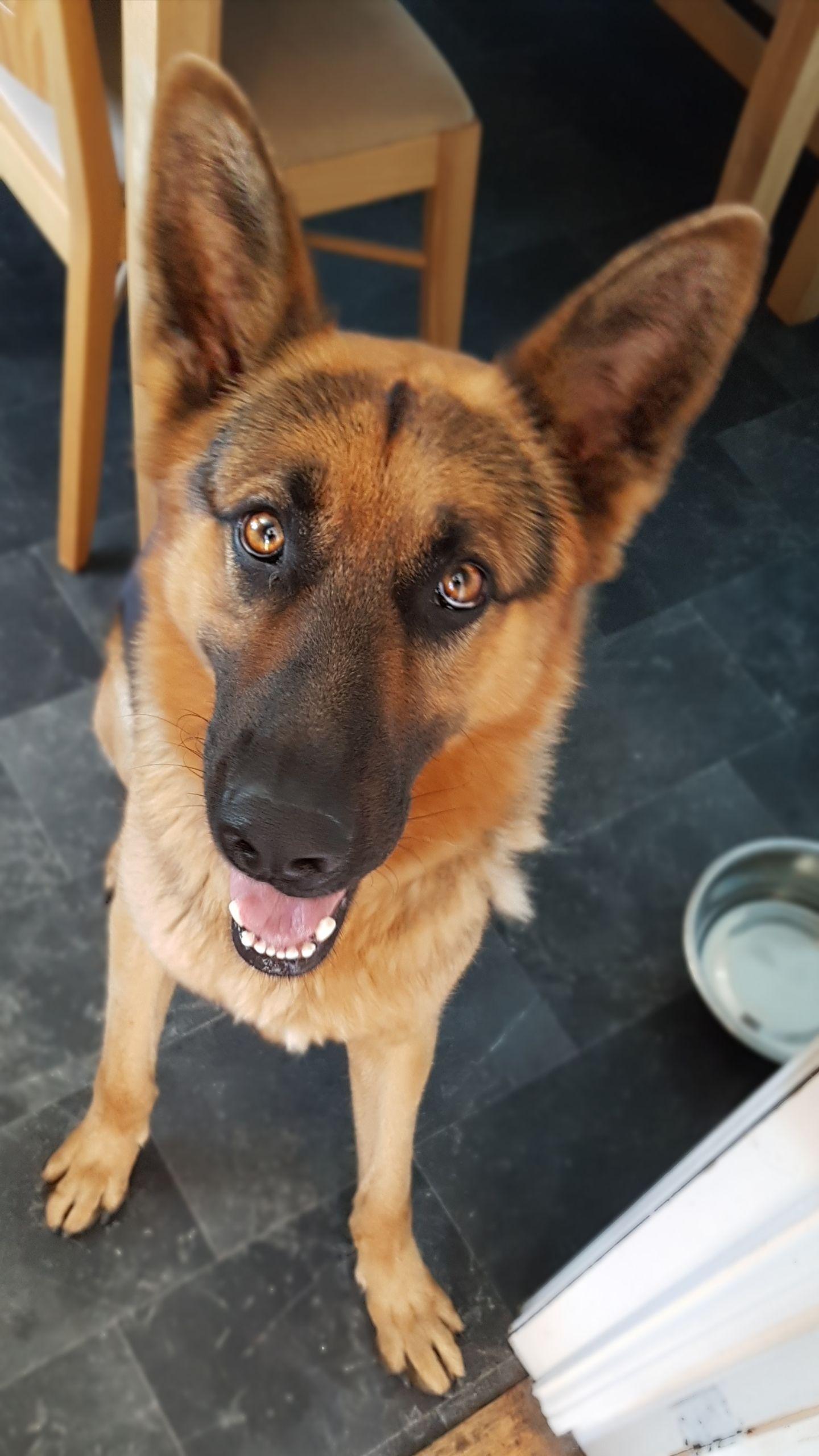 My german shepherds eyes httpsifttt2lffark cute