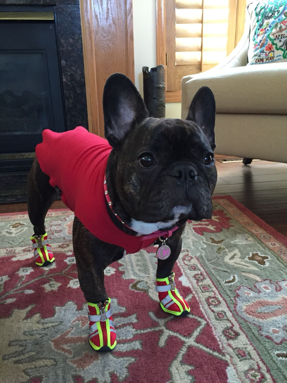 French Bulldog Cappuccino with some fancy shoes