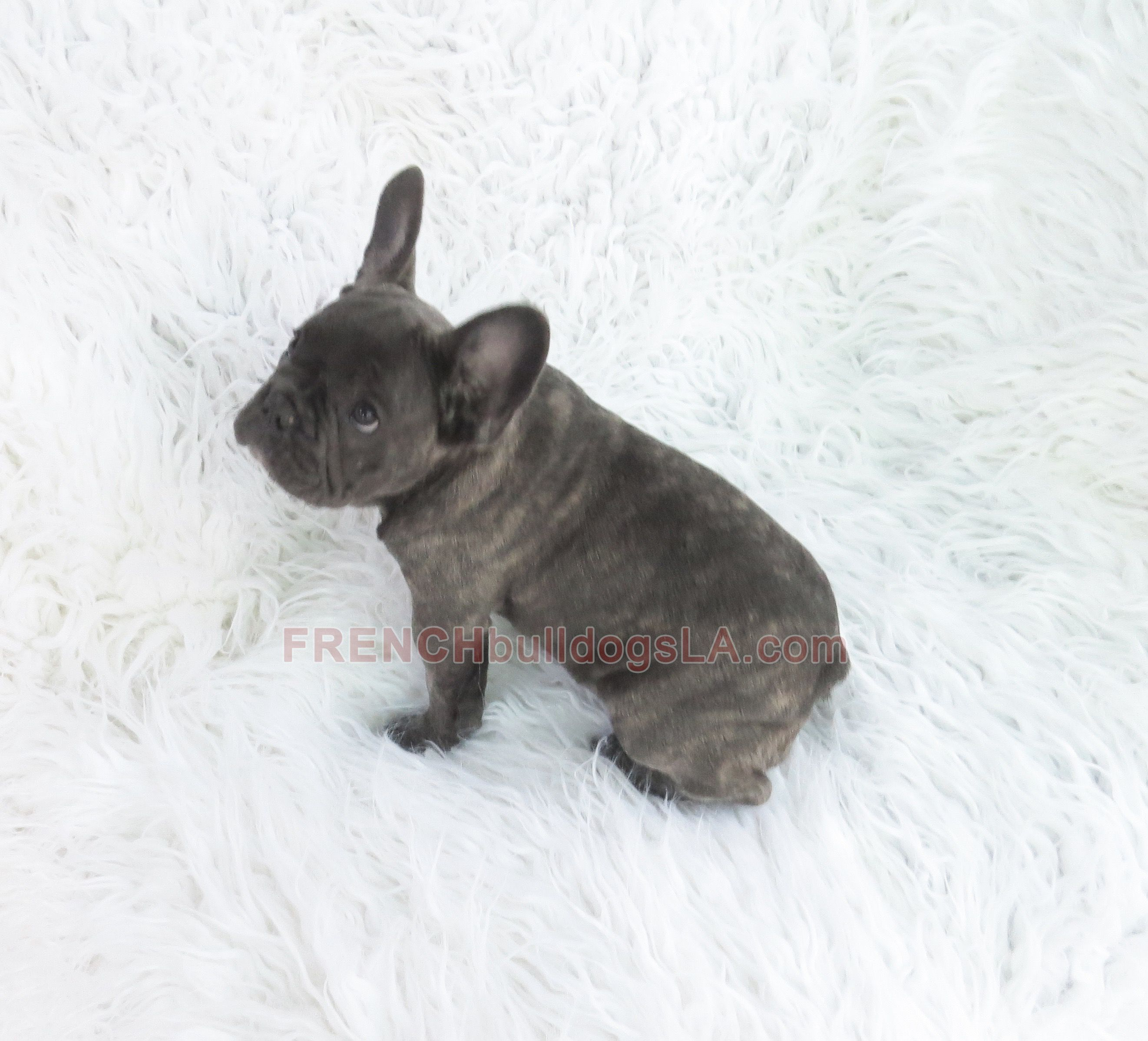 Blue French Bulldogs Breed Information Price Facts Loyal Or Not Where To Buy French Bulldog Blue White French Bulldog Puppies French Bulldog