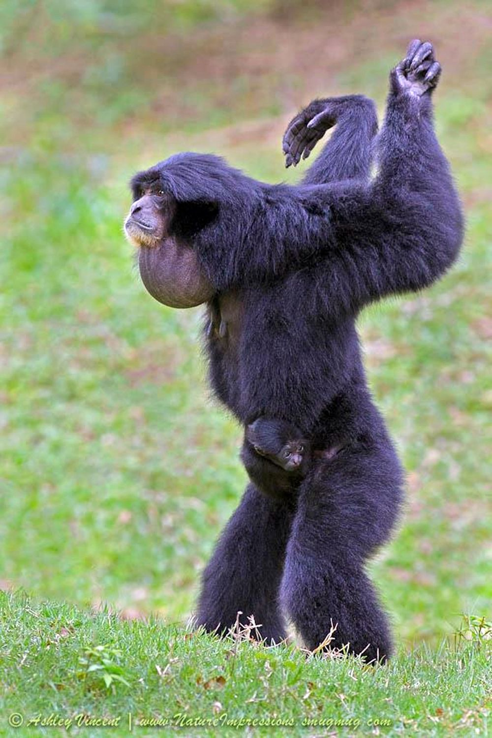 Howler Monkey | Singe hurleur, Animaux exotiques, Animaux sauvages