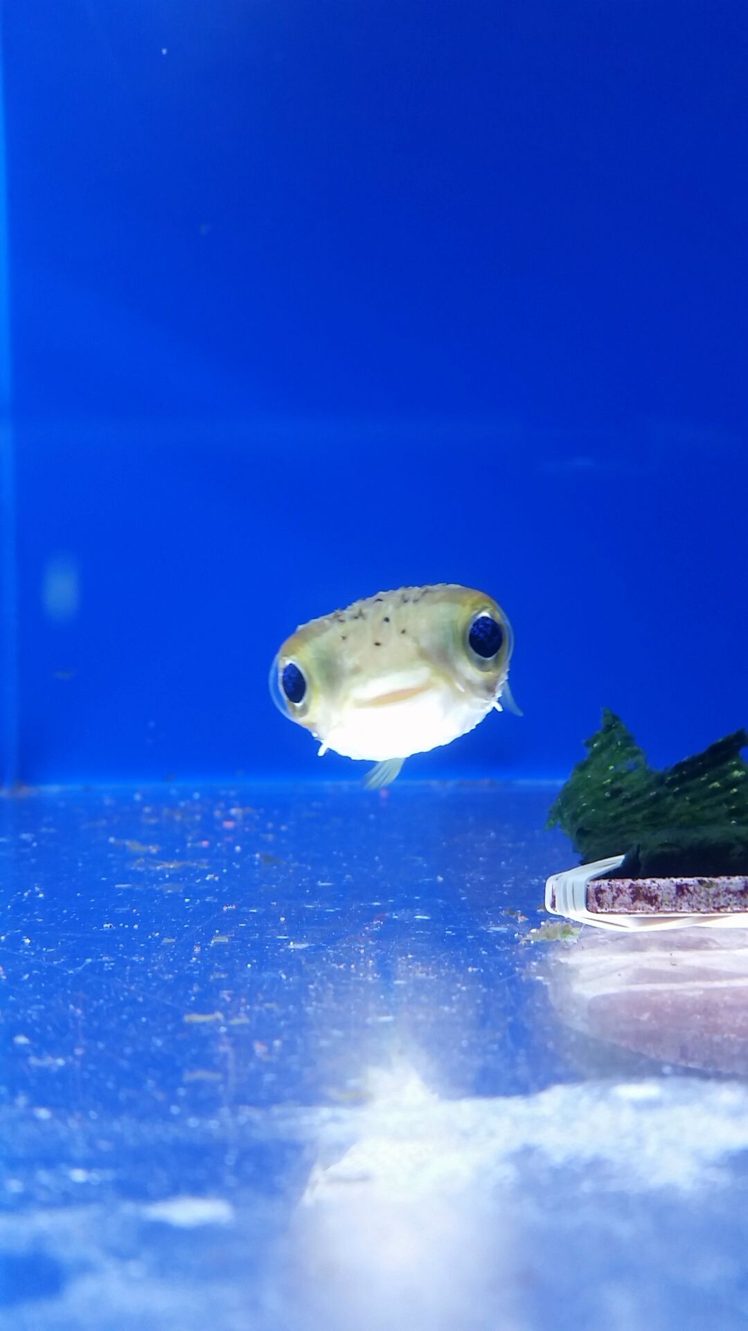 I Was Told Fish Couldn T Be Cute So Here S The Puffer That Came Into Our Shop Cute Animals Ocean Animals Animals