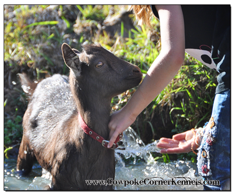 When you give your goat a bath...